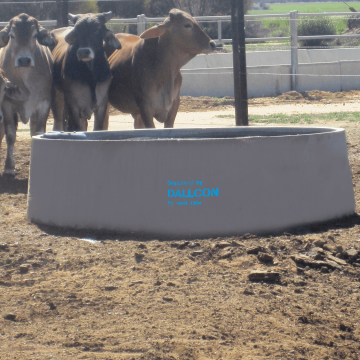 cattle and the round water trough